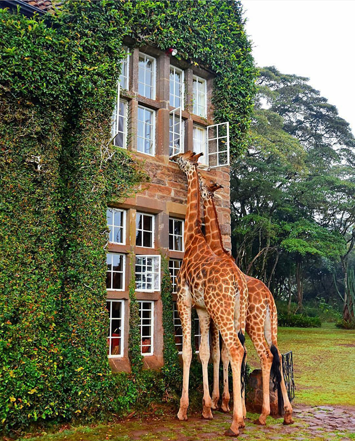 giraffe joins hotel guests for lunch