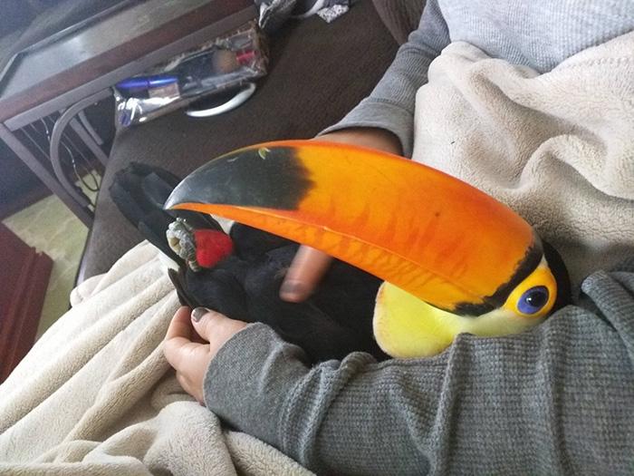 toucan lap
