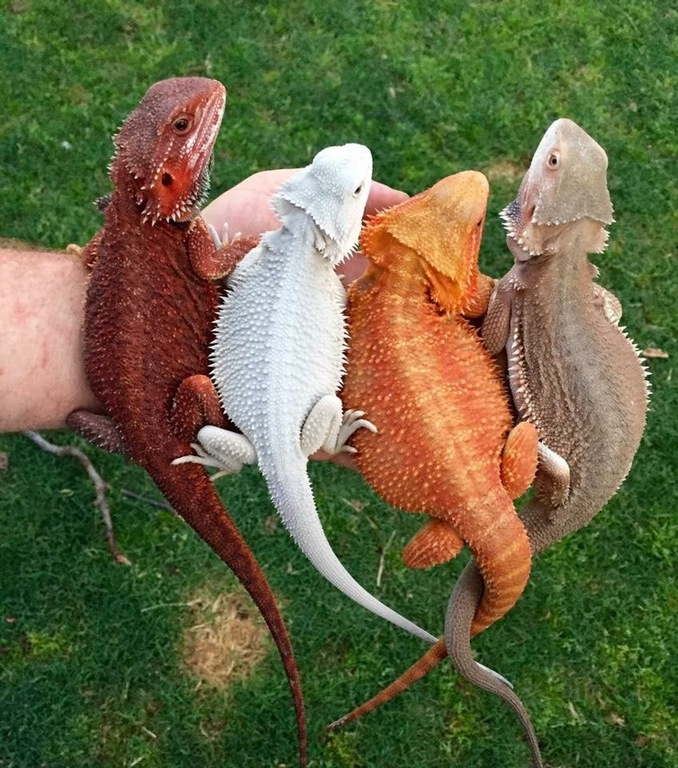 some bearded dragons