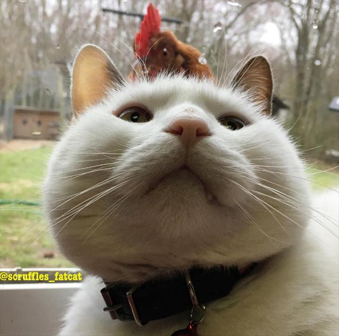 chickens love fat cat