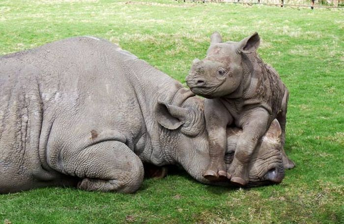 baby rhino on mom