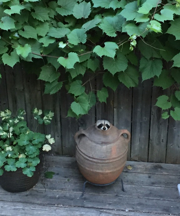 raccoon problem in pot funny and cute