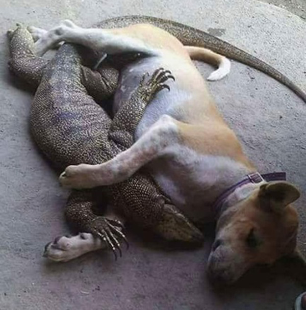dog and lizard snuggling