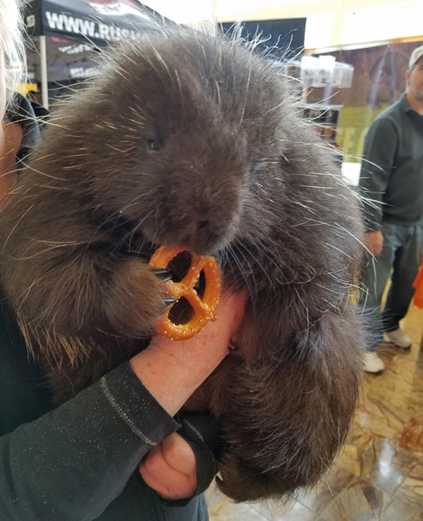 porcupine eating a pretzel