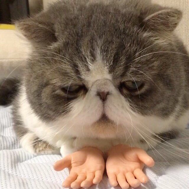 cat with hands