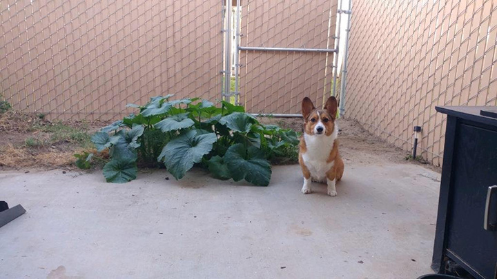 corgi eats seeds poops them out and they grow