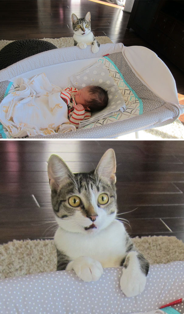 overly dramatic cats funny pictures