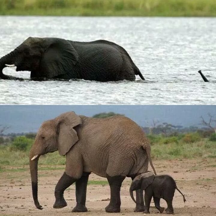 baby elephant crossing the river