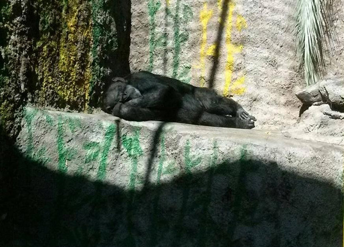cecelia chimp freed from zoo