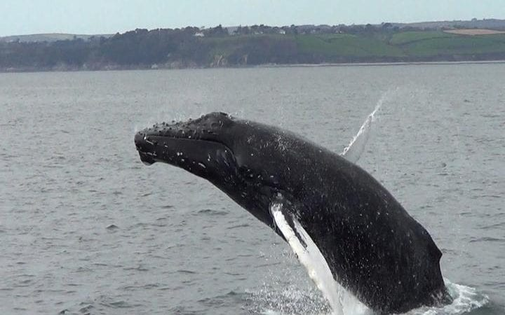 whale breaches 25 times after rescue