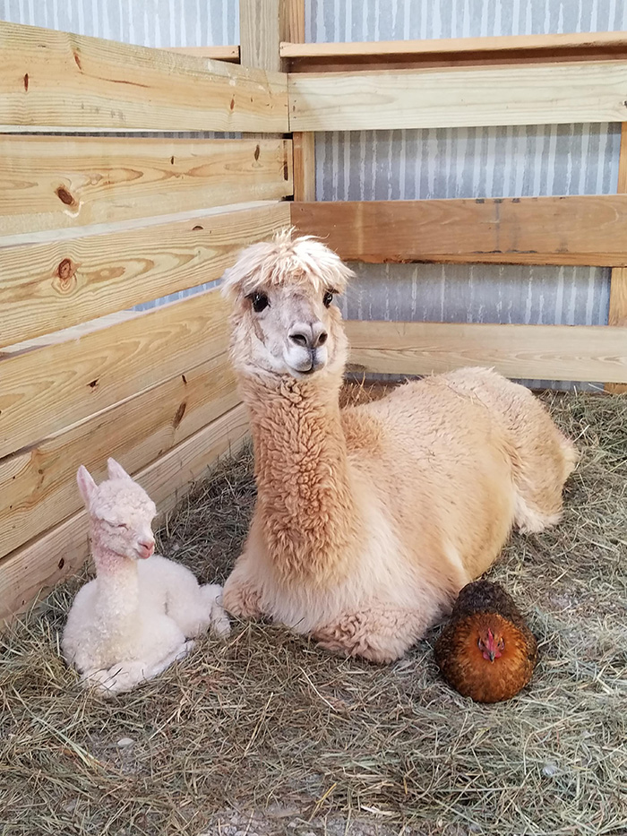 alpaca baby with chicken godmother