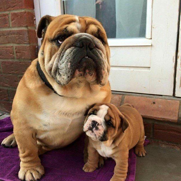proud dad bulldog and puppy