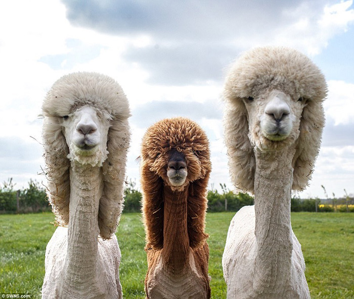 alpaca album cover