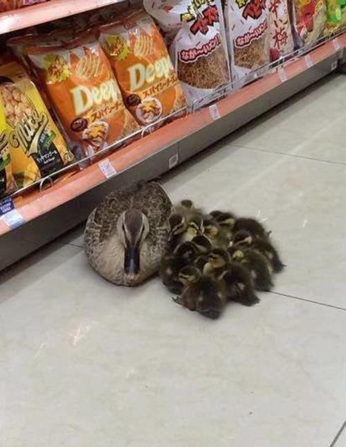 ducklings in grocery store