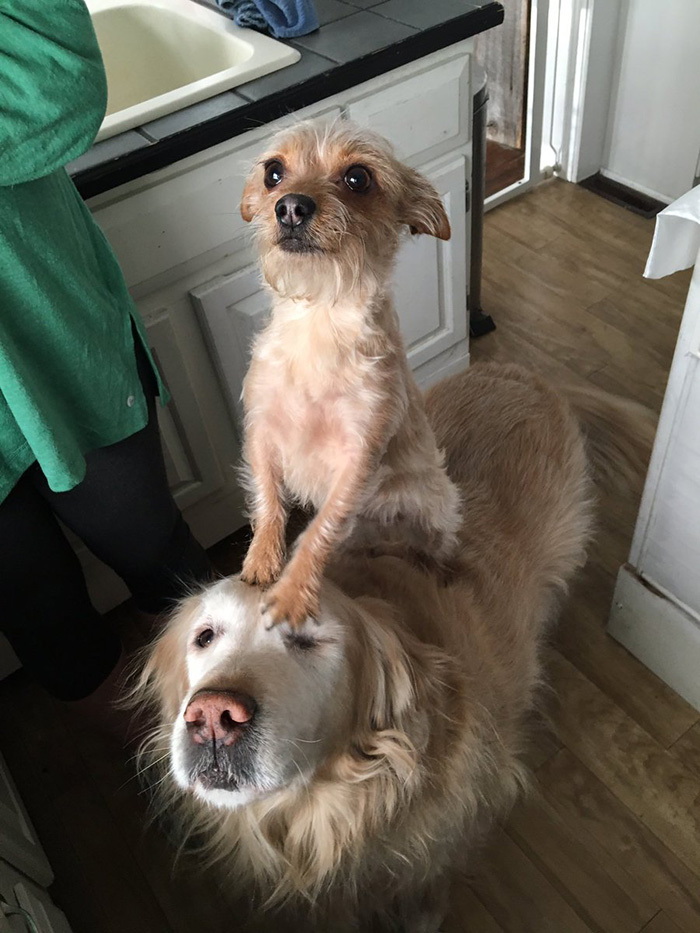dog carries small dog on back all day