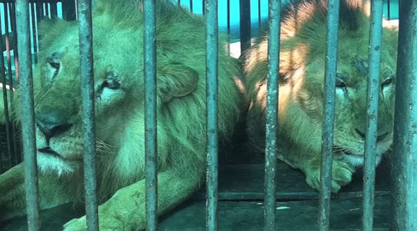 33 lions rescued from circus and sent home to Africa