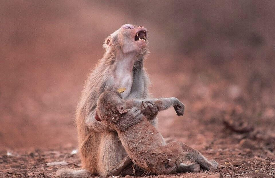 monkey sad over baby then recovers photo