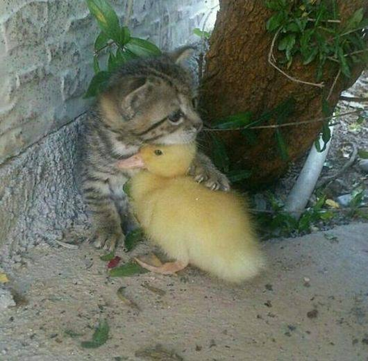 kitten hugging a duckling