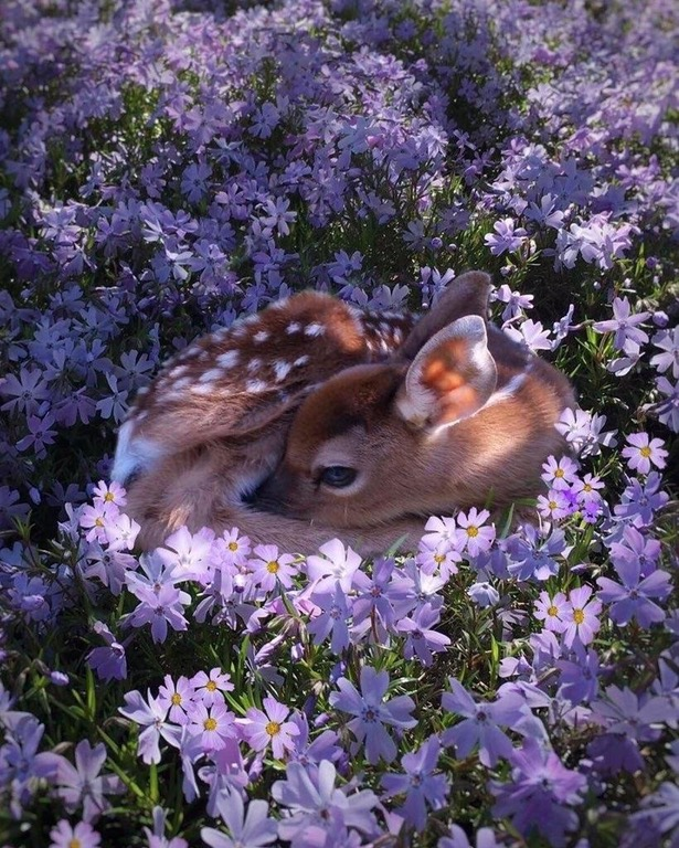 fawn baby deer flowers picture