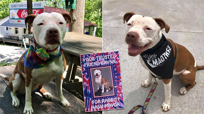 rescue pit bull elected town mayor