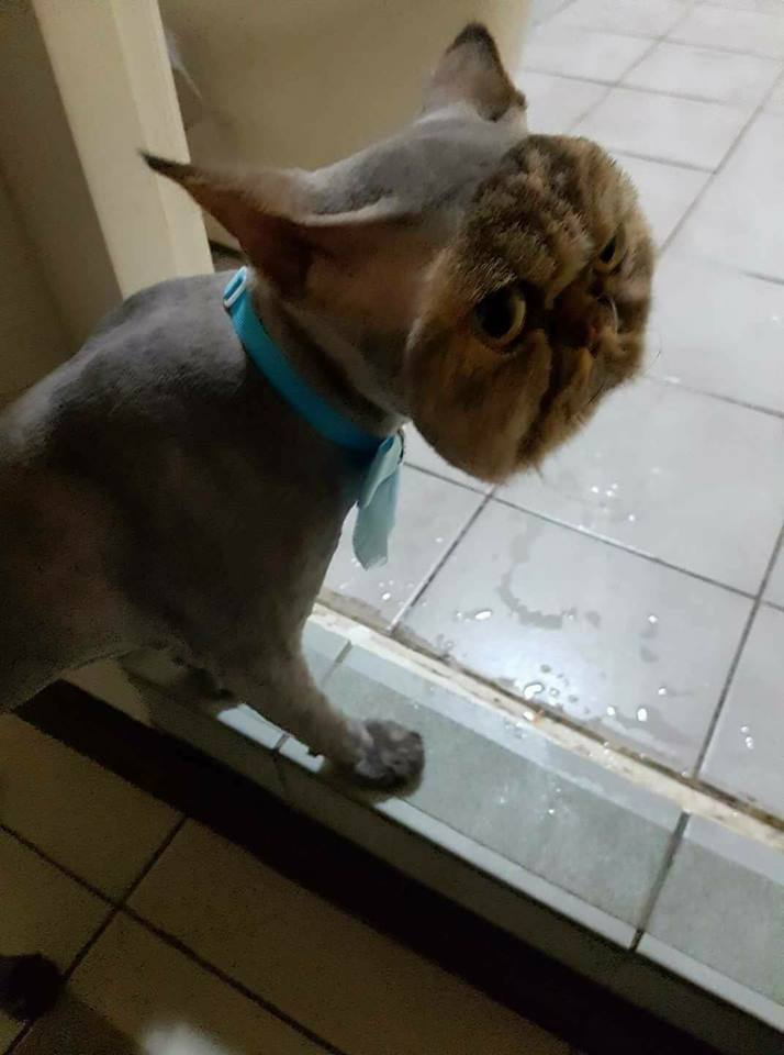 shaved cat except face