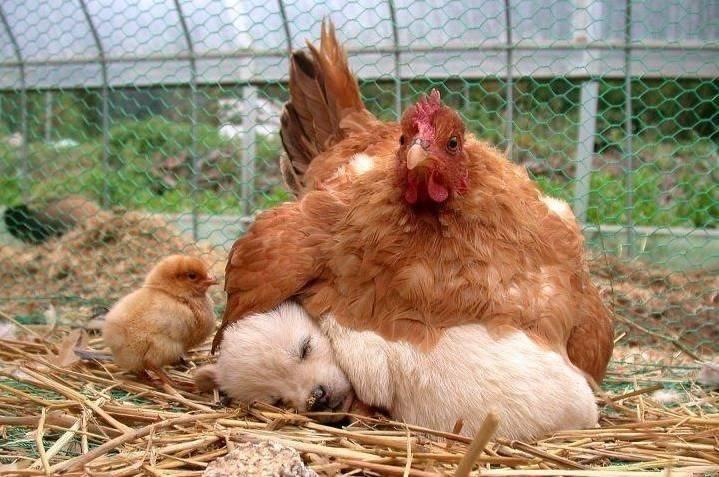 chicken sitting on puppy