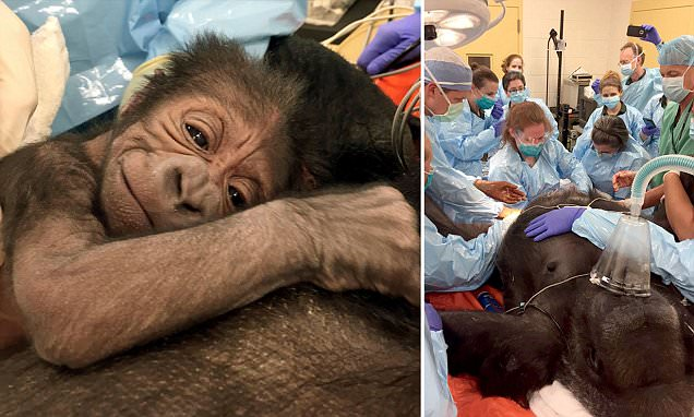 good news doctors save gorilla and baby zoo