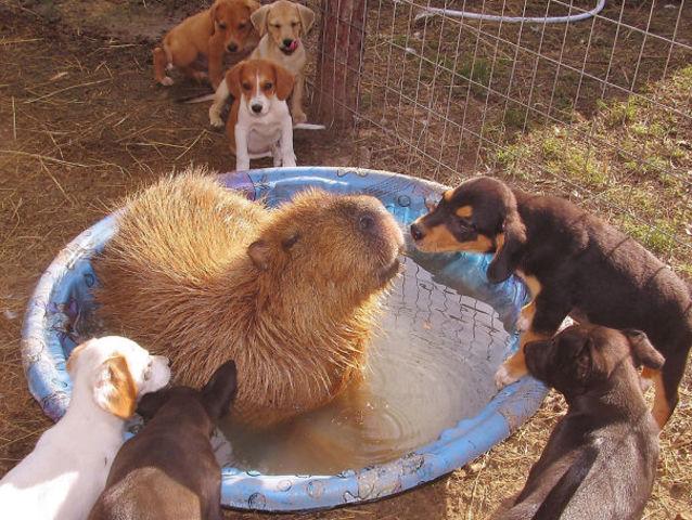 capybara chill spa day