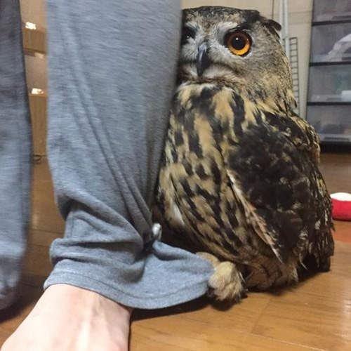 owl hides behind owner stranger in house