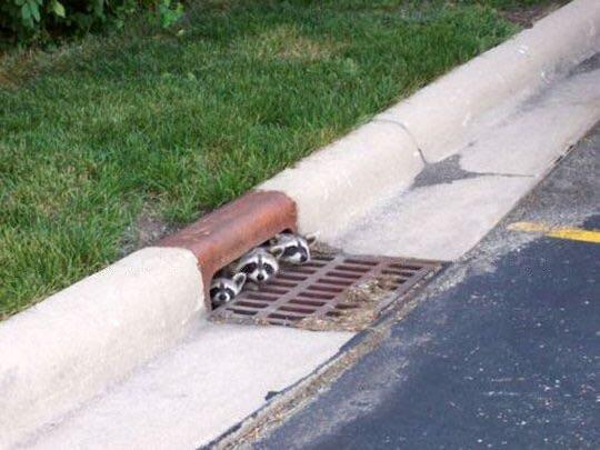 we all float down here raccoons in sewer
