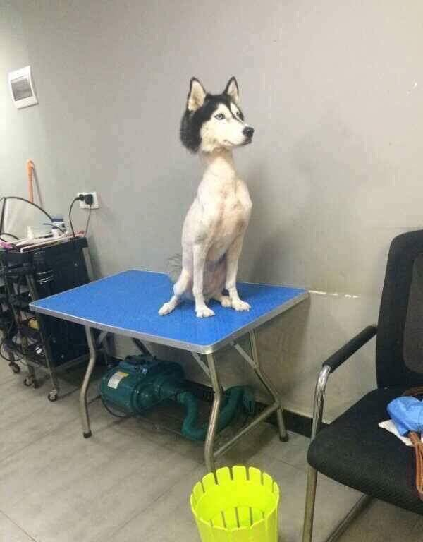 shaved husky except face