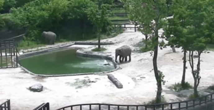 elephants rescue baby fell into water video