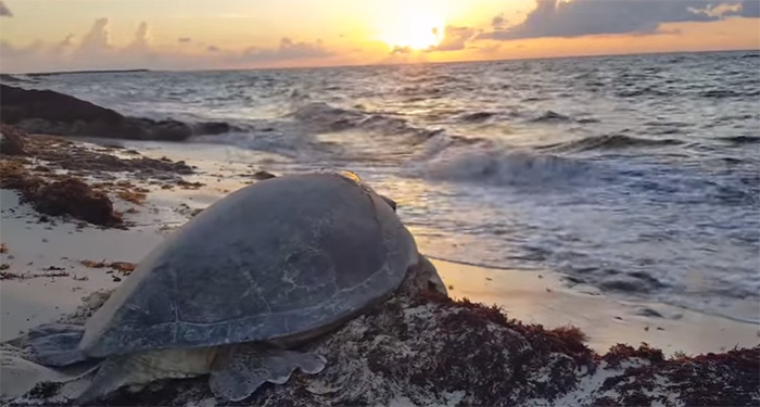 man rescues sea turtle on its back cozumel