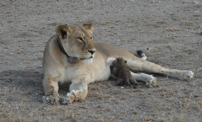 'It's A Once-In-A-lifetime Event': Wild Lioness Spotted Nursing A Baby Leopard  6aacw-lioness-nursing-baby-leopard-1