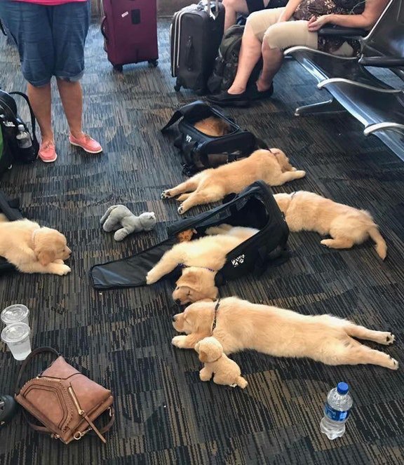 Tired Puppies At The Airport