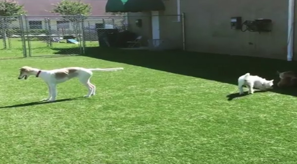 Blind Dog Tries To Make Friends At The Dog Park
