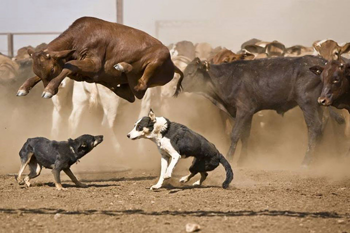 cow jumps over herding dogs