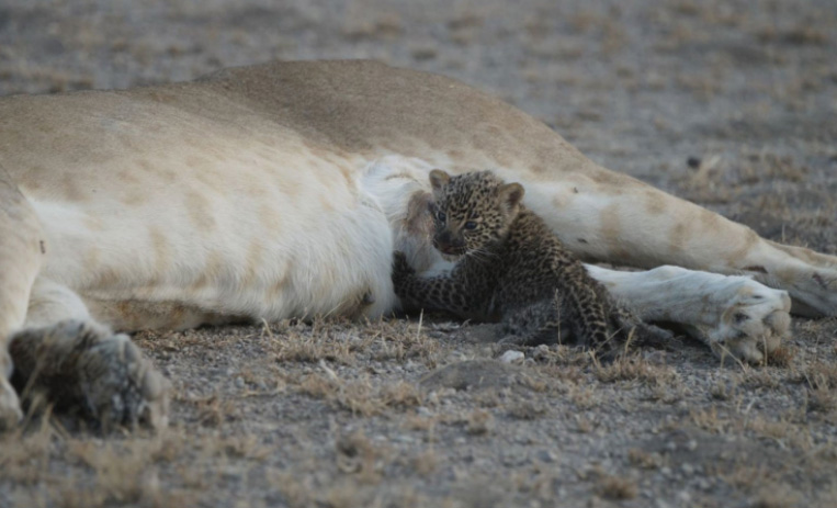 'It's A Once-In-A-lifetime Event': Wild Lioness Spotted Nursing A Baby Leopard  G5q8j-lioness-nursing-baby-leopard-3