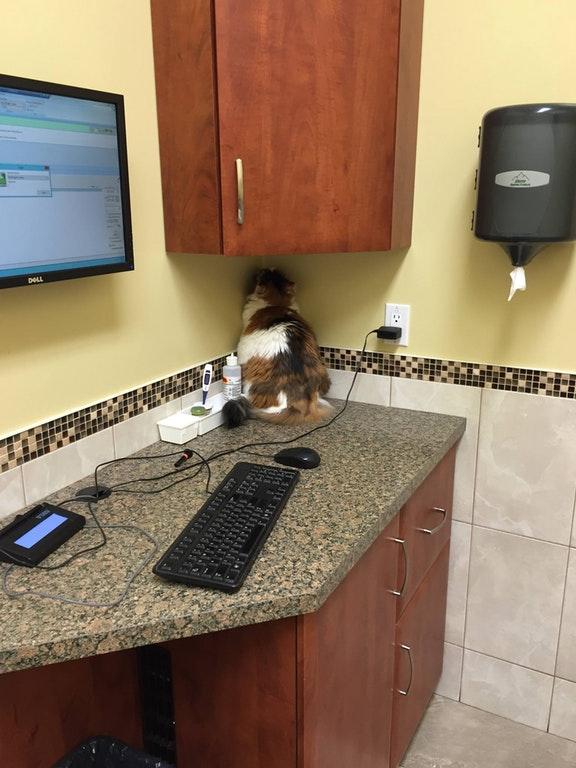 cat staring at corner at vet office