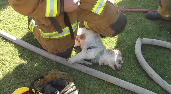 unconscious dog is rescued and brought back to life by firefighters