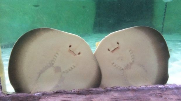 stingray pups cookies and cream