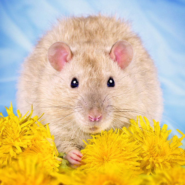 cute pictures of rats