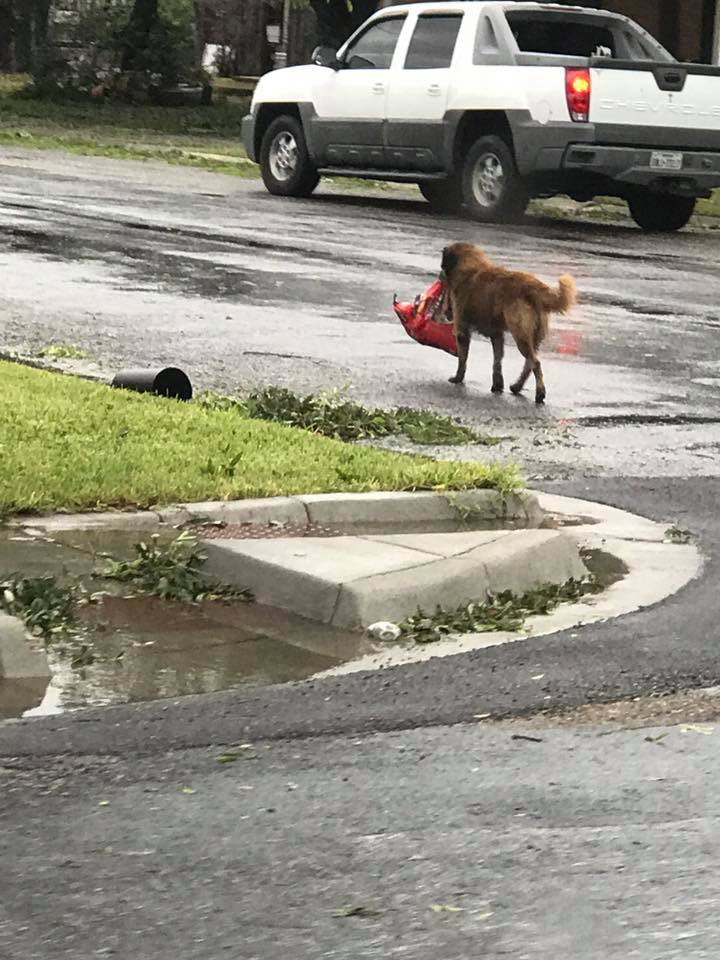 dog carrying bag of food hurricane harvey