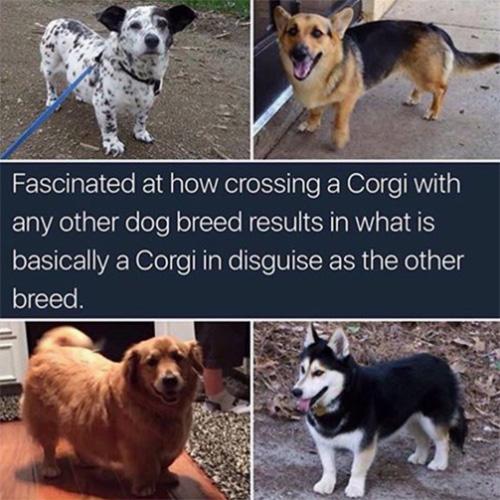 undercover corgi