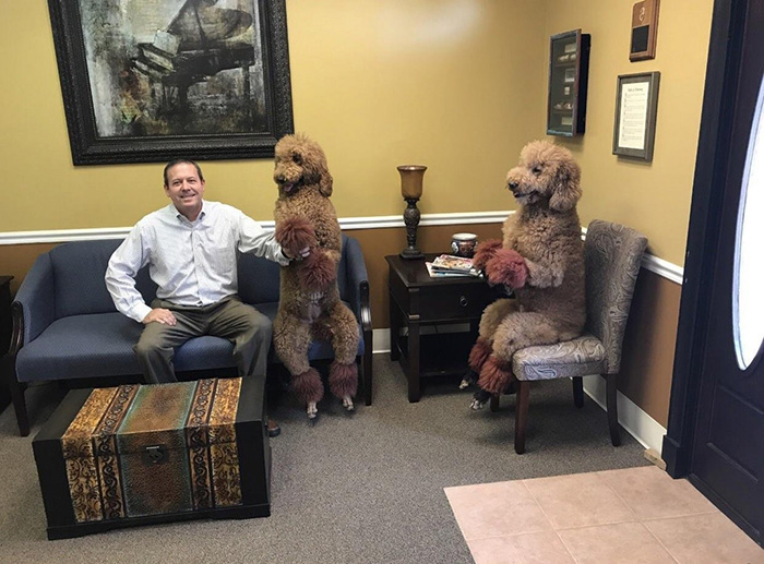 poodles sitting like humans in chairs