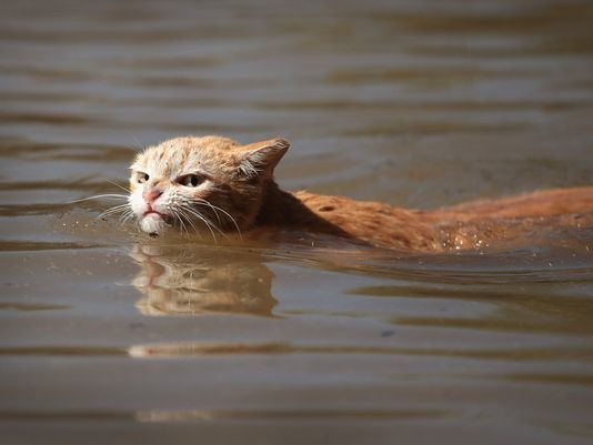 angry Harvey Cat swims in water