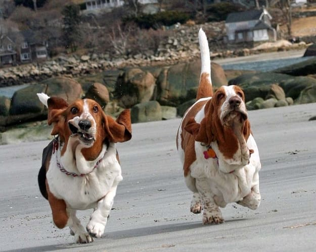 basset hounds on the run