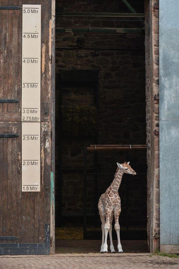 baby giraffe has some growing to do