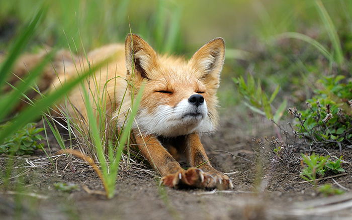 fox cub stretch after nap