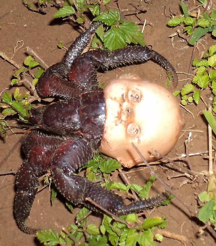 hermit crab creepy doll head